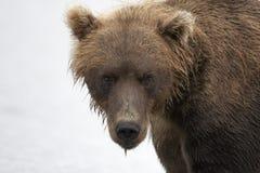 Retrato de un primer del oso marrón Imagen de archivo libre de regalías