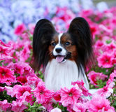 Retrato de un primer del papillon Un perro hermoso en colores rosados Foto de archivo libre de regalías