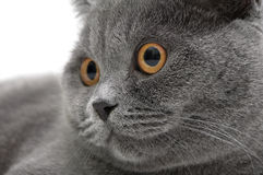 Retrato de un primer gris del gato (recto escocés de la raza) Foto de archivo libre de regalías