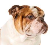 Retrato de un primer inglés del dogo de la raza del perro en una parte posterior del blanco Imagen de archivo