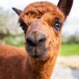 Retrato de un primer joven de la alpaca Imagen de archivo libre de regalías