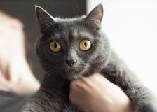 Retrato de un primer liso-cabelludo brit?nico del gato azul fotos de archivo libres de regalías