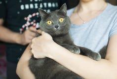 Retrato de un primer liso-cabelludo brit?nico del gato azul imagen de archivo libre de regalías