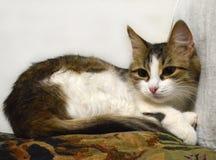 Retrato de un primer tricolor soñoliento encantador del gatito en la almohada fotografía de archivo libre de regalías