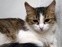 Retrato de un primer tricolor soñoliento encantador del gatito imágenes de archivo libres de regalías