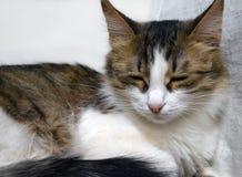 Retrato de un primer tricolor soñoliento encantador del gatito fotografía de archivo libre de regalías