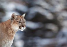 Retrato de un puma Imagen de archivo libre de regalías