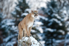 Retrato de un puma, león de montaña, puma, pantera, pegando un p Fotos de archivo