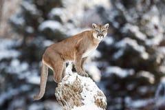 Retrato de un puma, león de montaña, puma, pantera, pegando Imagenes de archivo