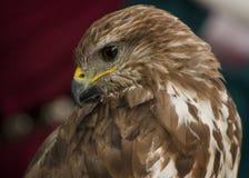 Retrato de un rapaz o de un ave rapaz hermoso Imágenes de archivo libres de regalías