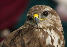 Retrato de un rapaz o de un halcón hermoso Foto de archivo libre de regalías
