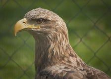 Retrato de un rapaz o de un halcón hermoso Fotos de archivo libres de regalías