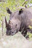 Retrato de un rinoceronte viejo que oculta para los cazadores furtivos en arbusto denso Imagenes de archivo