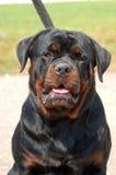 Retrato de un rottweiler hermoso fotografía de archivo