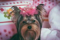 Retrato de un terrier de Yorkshire lindo con la corona Foto de archivo
