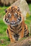 Retrato de un tigre curioso imagen de archivo libre de regalías