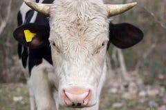 Retrato de un toro joven imagen de archivo libre de regalías