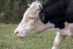 Retrato de un toro joven foto de archivo libre de regalías