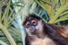Retrato de un varón salvaje del mono de araña que se sienta en una palmera del betel Fotografía de archivo libre de regalías