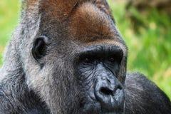 Retrato de un varón del gorila Foto de archivo libre de regalías