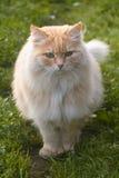 Retrato de un verano vecino del melocotón del gato del ` s Imagenes de archivo