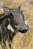 Retrato de un warthog foto de archivo libre de regalías
