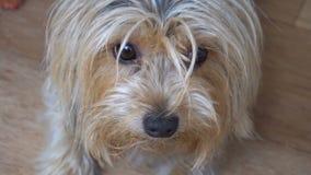 Retrato de un Yorkshire Terrier en el cuarto del apartamento almacen de metraje de vídeo