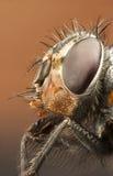 Retrato de una abejón-mosca Fotos de archivo libres de regalías