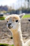 Retrato de una alpaca Imágenes de archivo libres de regalías