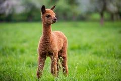 Retrato de una alpaca joven foto de archivo