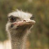 Retrato de una avestruz Imágenes de archivo libres de regalías