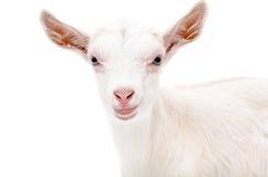 Retrato de una cabra blanca Imagen de archivo libre de regalías