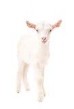 Retrato de una cabra blanca Foto de archivo