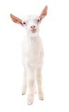 Retrato de una cabra blanca en integral Fotos de archivo