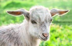 Retrato de una cabra en un prado verde Fotos de archivo libres de regalías