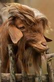 Retrato de una cabra marrón peluda linda con los oídos de inclinación y las lanas largas, detrás de una cerca rústica de madera e Imagenes de archivo