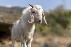 Retrato de una cabra de Nepal en la zona rural Pokhara de la granja de la cabra imagen de archivo