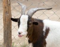 Retrato de una cabra salvaje Fotos de archivo