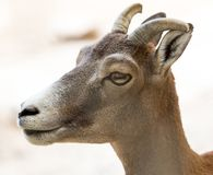 Retrato de una cabra salvaje Imagen de archivo libre de regalías
