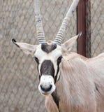 Retrato de una cabra salvaje Imágenes de archivo libres de regalías