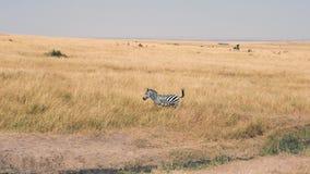 Retrato de una cebra curiosa en la sabana africana almacen de metraje de vídeo