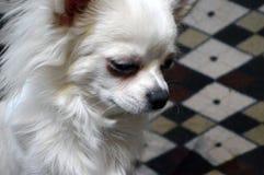 Retrato de una chihuahua encantadora del perro imágenes de archivo libres de regalías