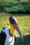 Retrato de una cigüeña de marabú