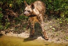 Retrato de una hiena Imagen de archivo libre de regalías