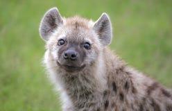 Retrato de una hiena curiosa del bebé Fotos de archivo libres de regalías