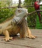 Retrato de una iguana Fotos de archivo