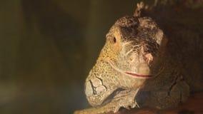 Retrato de una iguana amarilla almacen de metraje de vídeo
