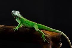 Retrato de una iguana grande en el estudio Imagen de archivo