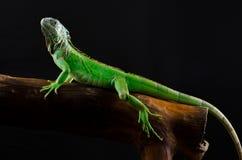 Retrato de una iguana grande en el estudio Foto de archivo libre de regalías