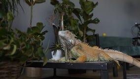 Retrato de una iguana grande Monte una cámara en un lagarto que se sienta en el fondo de plantas verdes almacen de video